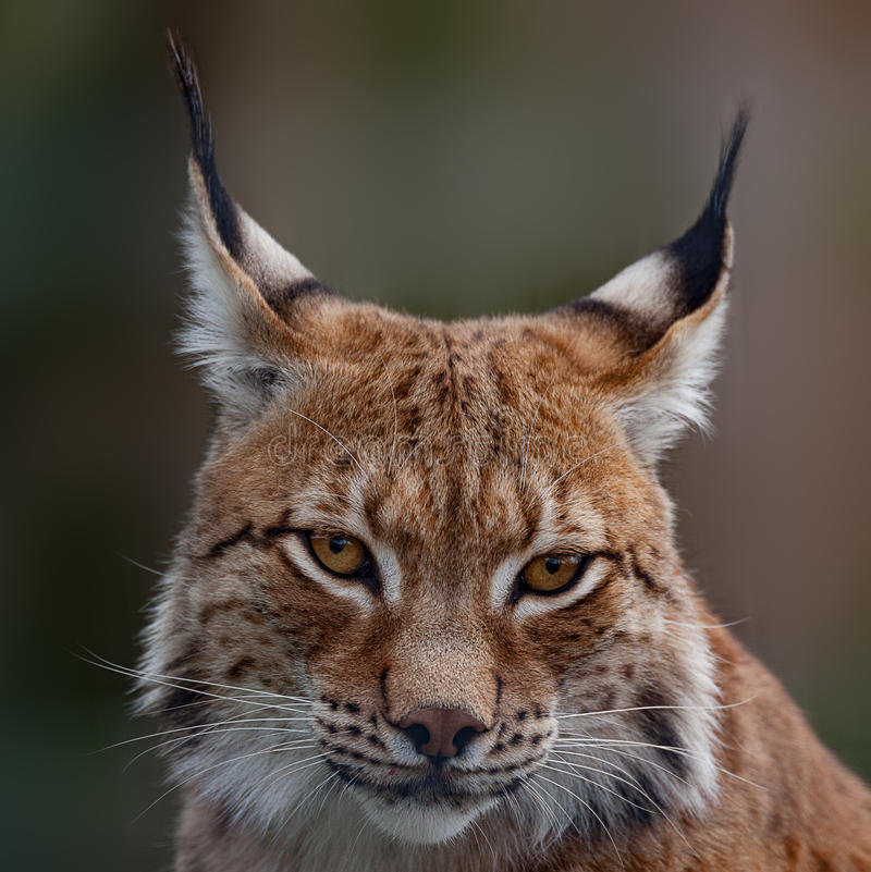 Siberian lynx. Head shot image royalty free stock photo