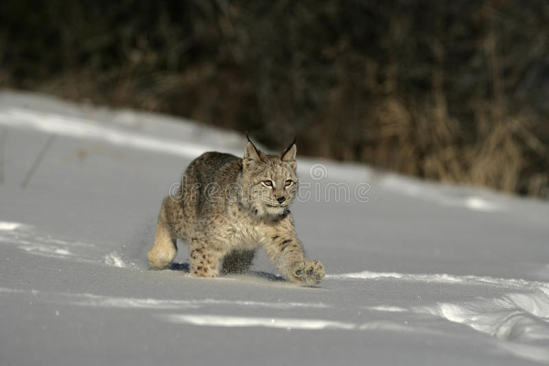 Download Siberian lynx, Lynx lynx stock image. Image of snow, cold - 34917099