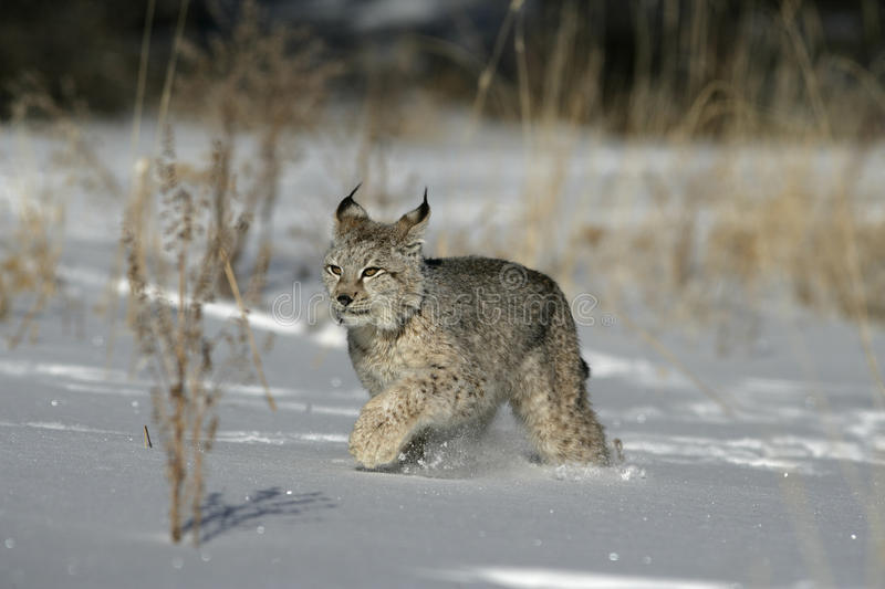 Download Siberian lynx, Lynx lynx stock image. Image of winter - 34917109