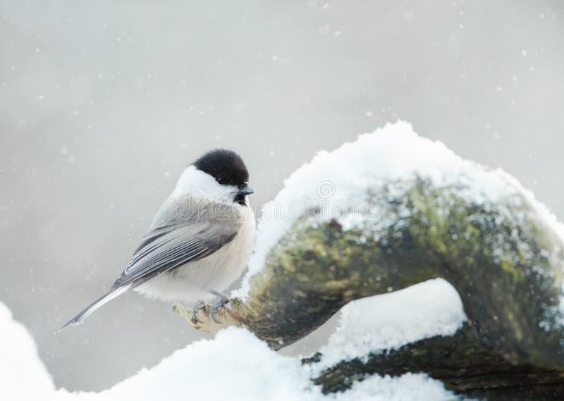 Siberian mes som sätta sig på filial i vinter arkivbilder