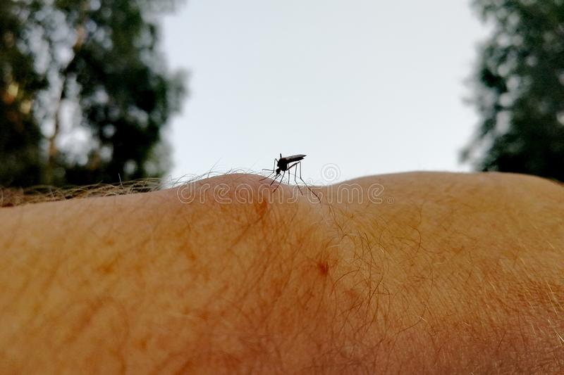 The Siberian mosquito sits on the human body and wants to bite. Front view royalty free stock images