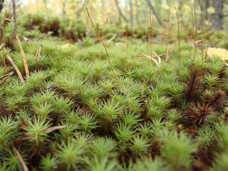 Siberian moss macro stock photos