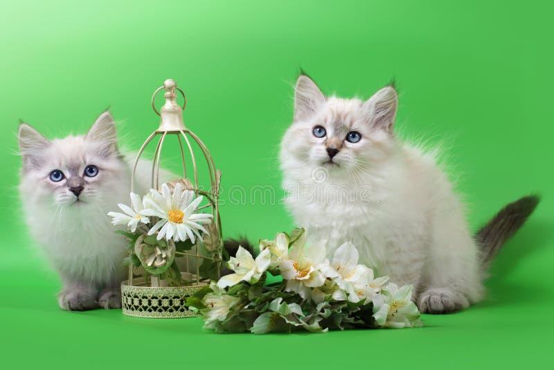 Siberian Neva Masquarade colorpoint kittens stock image
