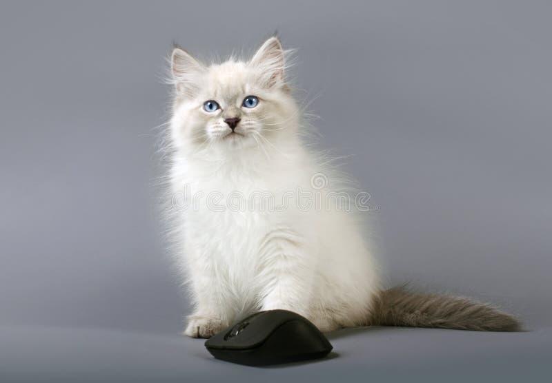 Siberian Neva Masquarade kitten with computer mouse royalty free stock image