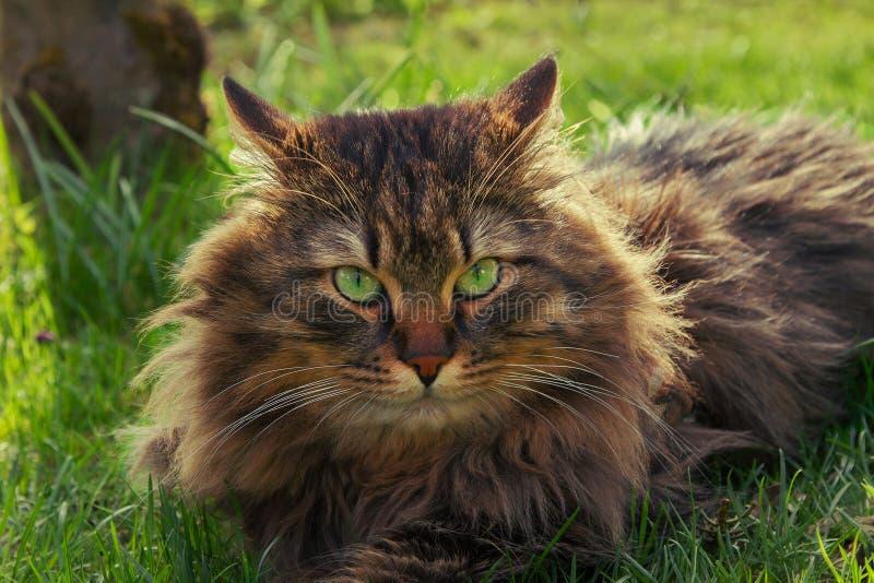 Siberian pedigree cat in the garden. Fluffy brown siberian pedigree cat with green eyes, lying in the garden royalty free stock photo