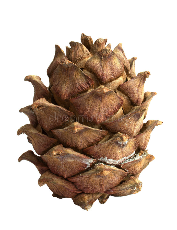 Download Siberian pine cone stock image. Image of solitary, cone - 1415807