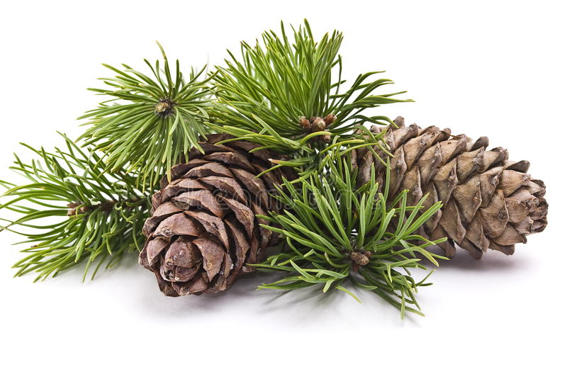 Siberian pine cone with branch royalty free stock image