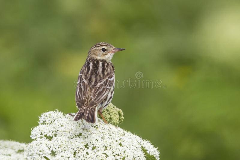 Siberian Pipit that sits on a sunny day summer cow parsnip his stock images
