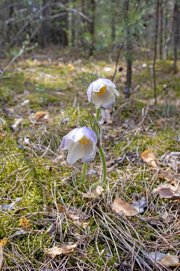 Siberian primroses. The first spring flowers in the forest, Russia, Khakassia sleep-grass. Listed in the Red Book.  stock images