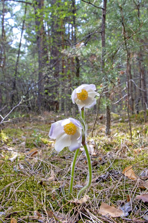 Siberian primroses. The first spring flowers in the forest, Russia, Khakassia sleep-grass. Listed in the Red Book.  stock photos