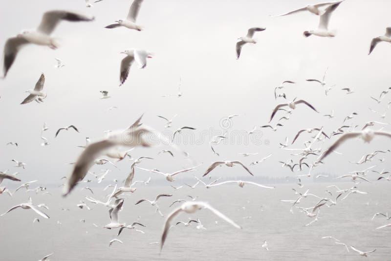 Siberian röd-fakturerade fiskmåsar flyger till Kunming arkivfoton