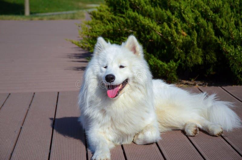 Siberian samoyed white husky dog stock image image 77965617 download siberian samoyed white husky dog stock image image 77965617 voltagebd Image collections