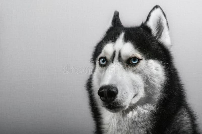 Siberian skrovlig hund som isoleras på grå färger Förvirrad rolig släde-hund för stående med blåa ögon arkivbilder