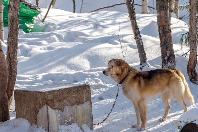 Siberian skrovlig hund som vilar i skyddet med snö runt om Mars 2018 royaltyfria foton