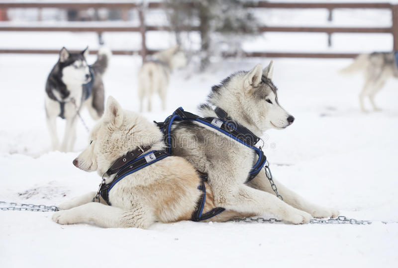 Siberian skrovlig hundkapplöpning i snön royaltyfria bilder