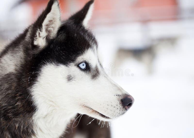 Siberian skrovlig hundkapplöpning i snön royaltyfri fotografi
