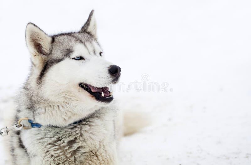 Siberian skrovlig hundkapplöpning i snön arkivfoto
