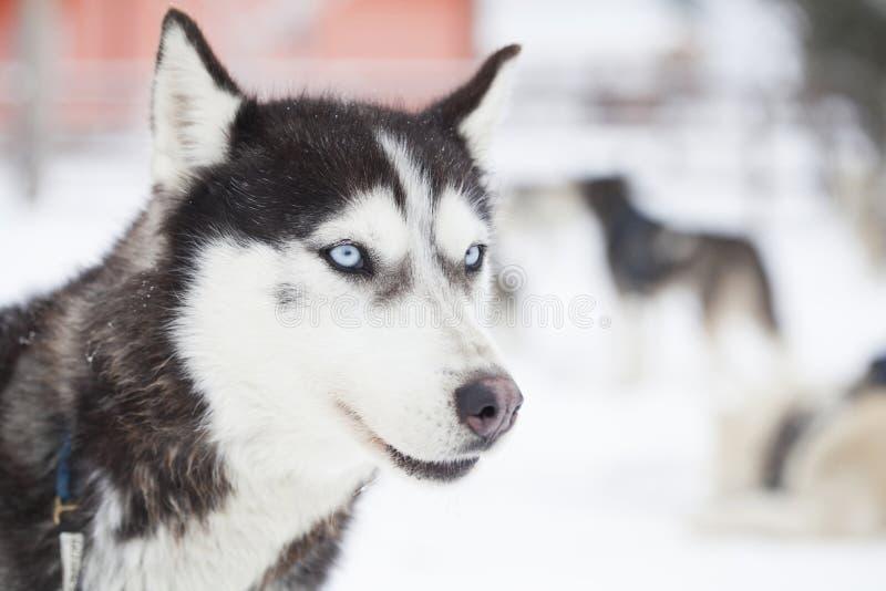 Siberian skrovlig hundkapplöpning i snön arkivfoton