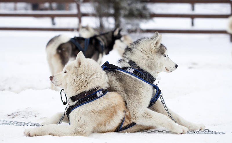 Siberian skrovlig hundkapplöpning i snön royaltyfri bild