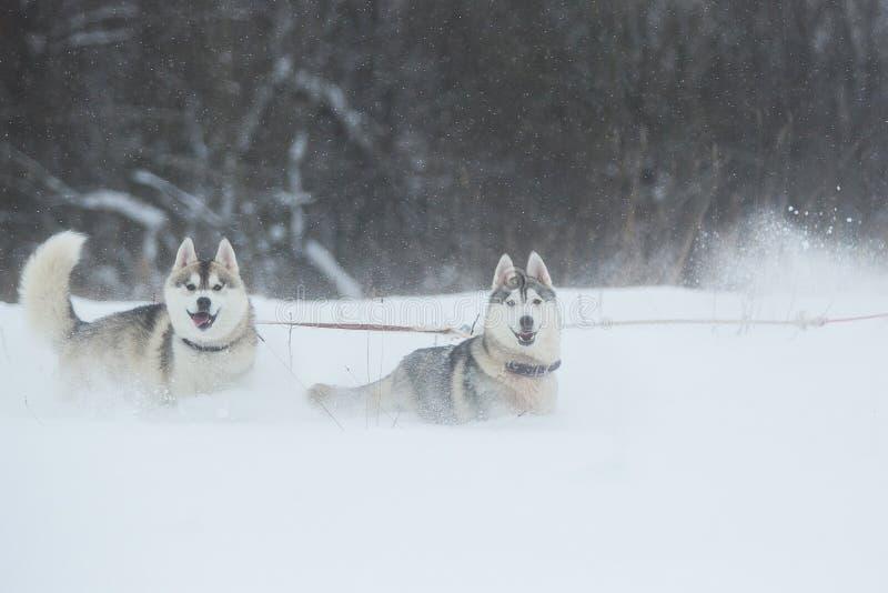 Siberian skrovlig hundkapplöpning på vinterbakgrund Två förbluffa skrovliga hundkapplöpning som står på snön arkivfoto