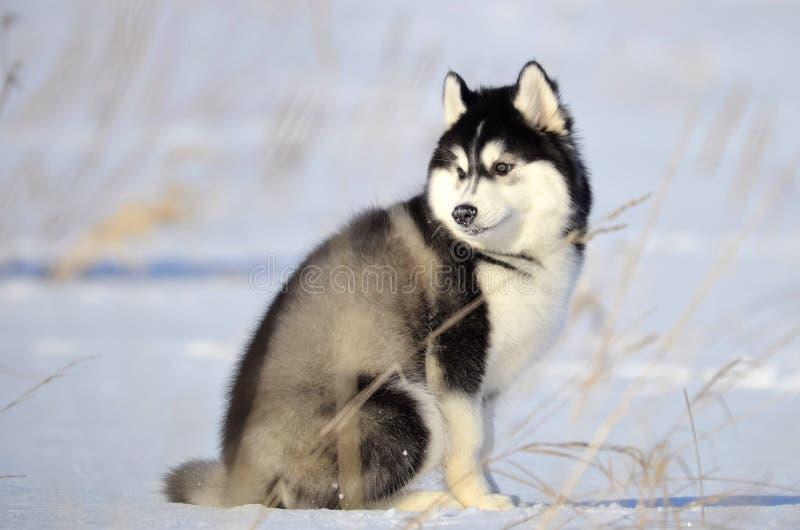 Siberian skrovlig svartvit fluffig woolievalp som sitter på th arkivbild