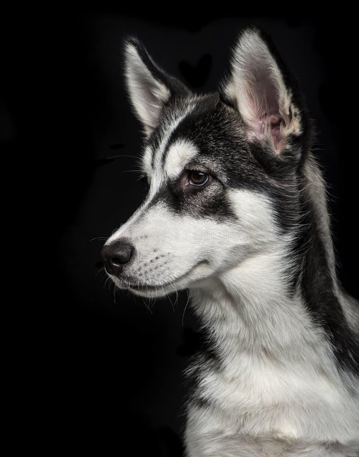 Siberian skrovlig valp 5 gamla månader på svart bakgrund royaltyfri fotografi