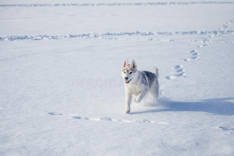 Siberian skrovlig valp 4 m?nad royaltyfria bilder