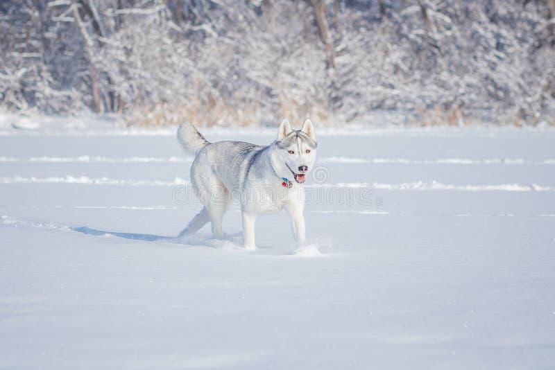 Siberian skrovlig valp 4 m?nad royaltyfri foto
