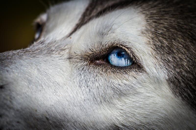 Siberian skrovligt för blåa ögon arkivbilder
