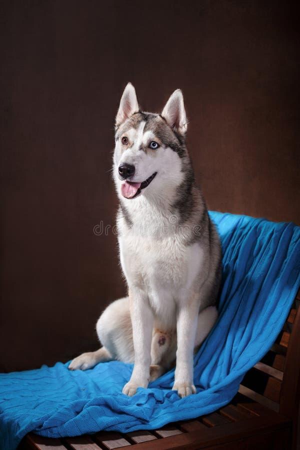 Siberian skrovligt för hundavel på en studiobackground arkivfoton