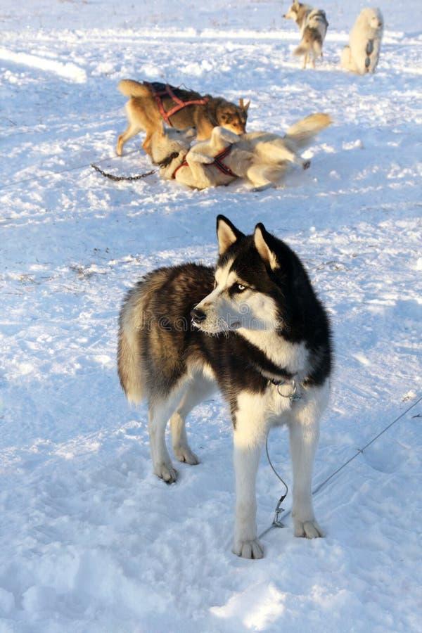 Siberian skrovligt för hundkapplöpning på snö royaltyfri fotografi