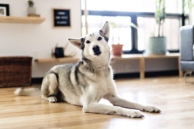 Siberian skrovligt hemmastatt ligga på golvet livsstil med hunden royaltyfri fotografi
