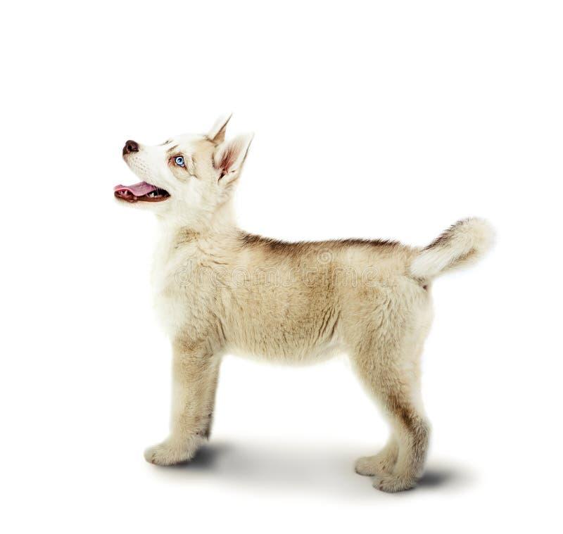 Siberian skrovligt hundstag på en vit arkivbild