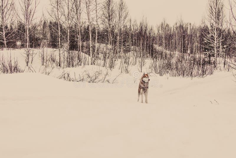Siberian skrovligt i den tonade vinterskogen royaltyfri fotografi
