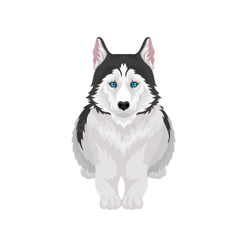 Siberian skrovligt liggande, vitt och svart rashunddjur med blåa ögon, vektorillustration för främre sikt på ett vitt vektor illustrationer