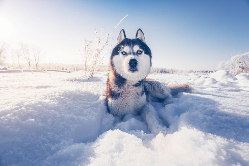 Siberian skrovligt ligger på snön royaltyfria foton