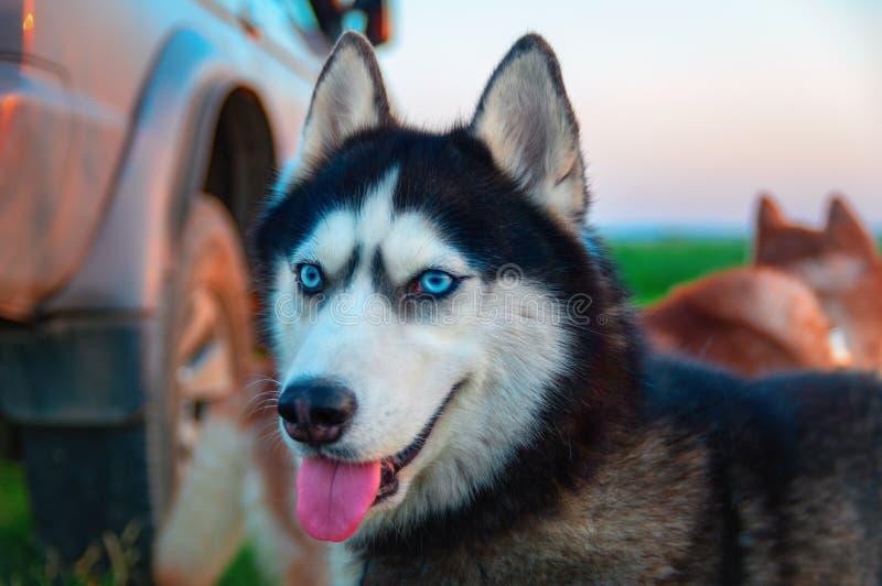 Siberian skrovligt se ut Att le tystar ned den skrovliga hunden på himmel för bakgrundsblåttaftonen royaltyfria foton