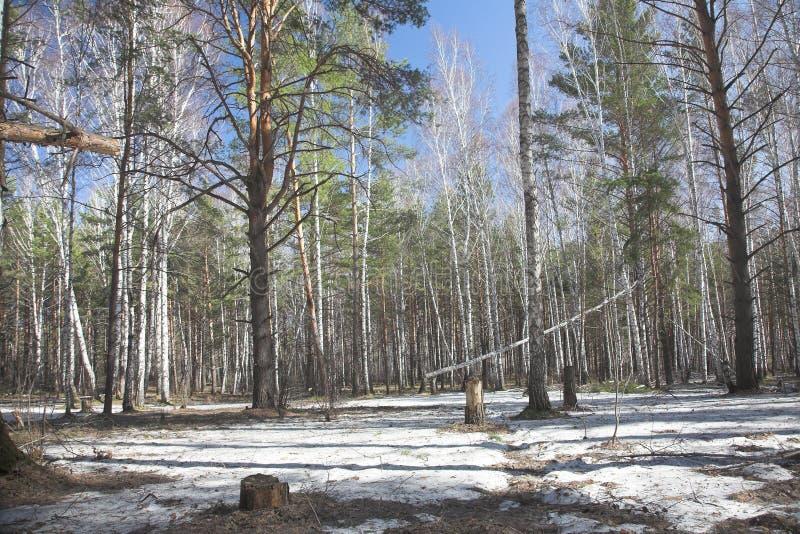 Siberian spring stock photography
