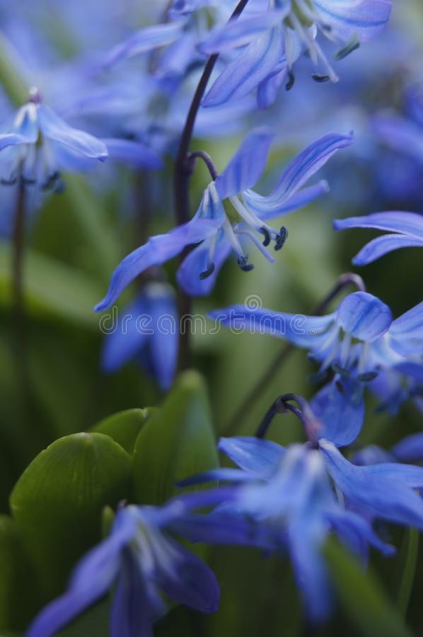 Siberian squill blue spring flowers, wood squill stock photo