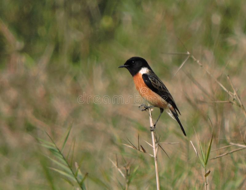 Siberian Stonechat fotos de stock royalty free
