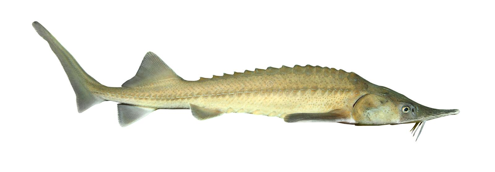 The Siberian sturgeon. The Siberian sturgeon (Acipenser baerii) is a source for caviar and tasty flesh royalty free stock photography