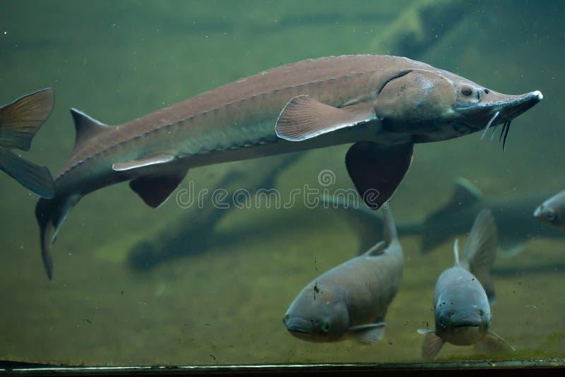 Siberian sturgeon (Acipenser baerii). Wild life animal stock images