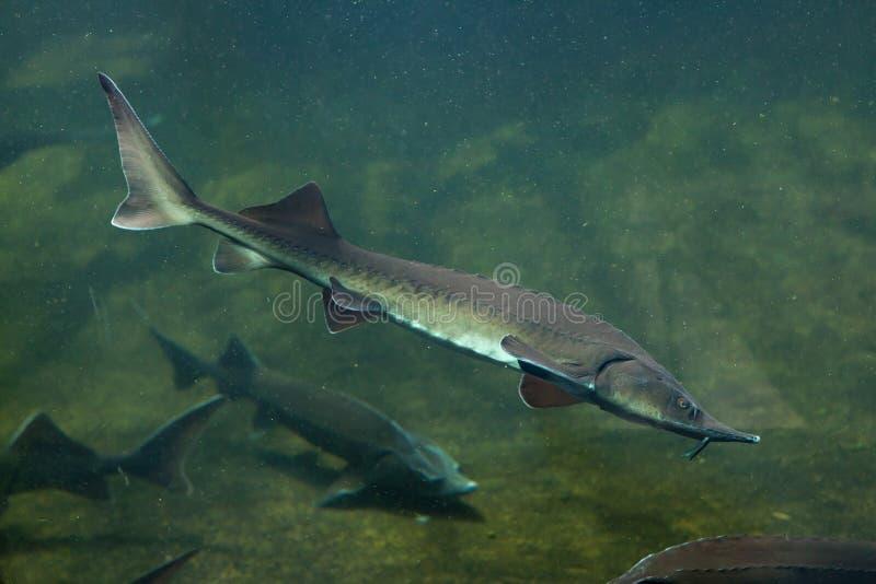 Siberian sturgeon (Acipenser baerii). Wild life animal stock photo