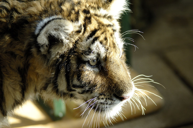 Siberian tiger. Puppy of siberian tiger royalty free stock images