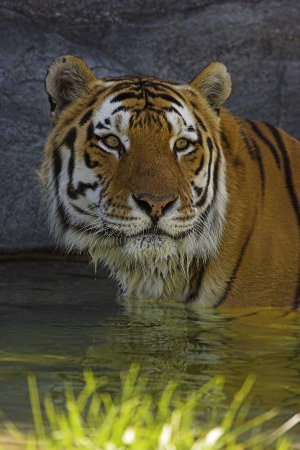 Free Siberian Tiger Stock Photo - 1363110