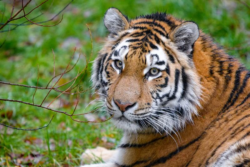 Siberian Tiger stock photography