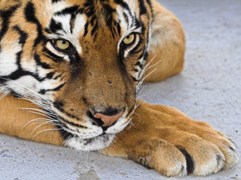 Siberian tiger. In a zoo royalty free stock photo