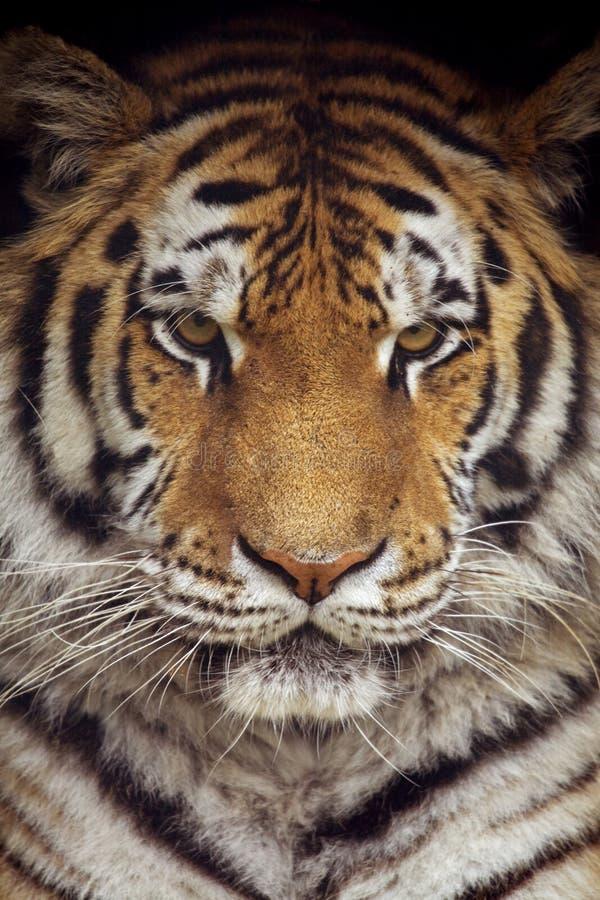 Free Siberian Tiger Stock Photos - 16296003