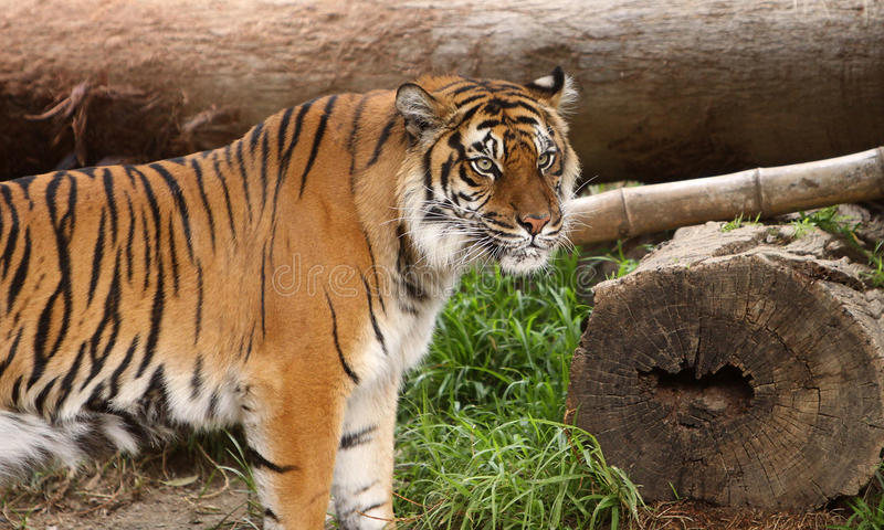 Download Siberian Tiger stock image. Image of outdoor, horizontal - 18531085