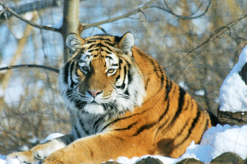 Siberian tiger. (Panthera tigris altaica) laying in the snow in Vienna zoo of Schoenbrunn royalty free stock photo